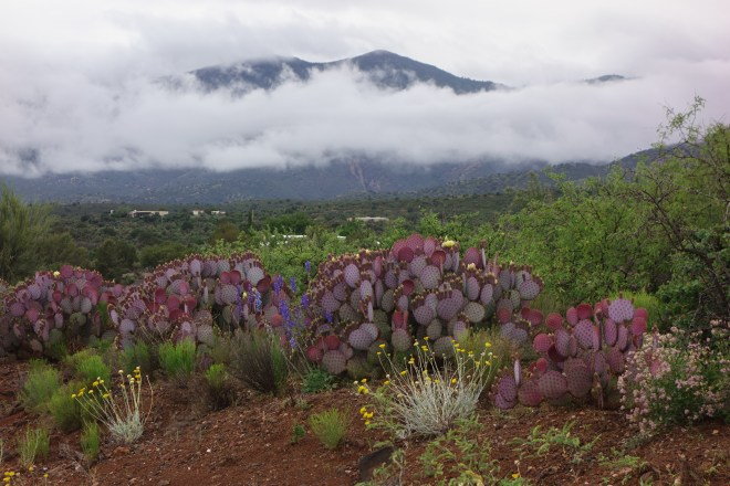 Cactus and fog on the slopes of Mingus Mountain.