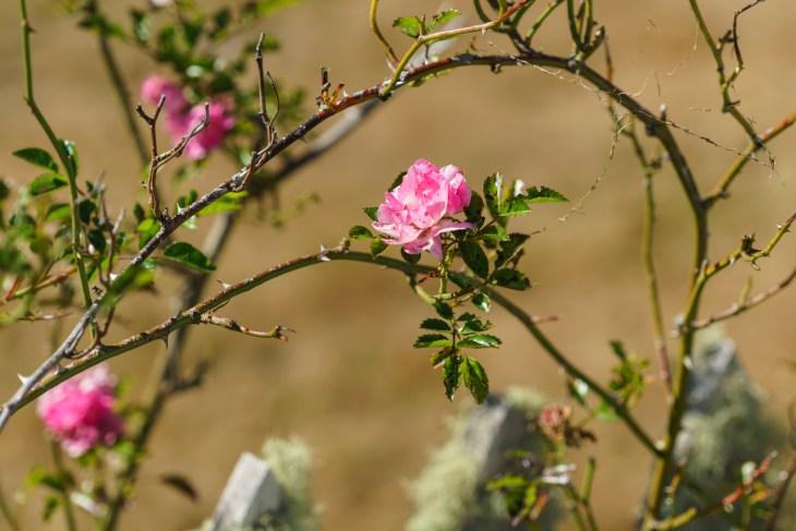 Late summer flowers. Oysterville, Washington