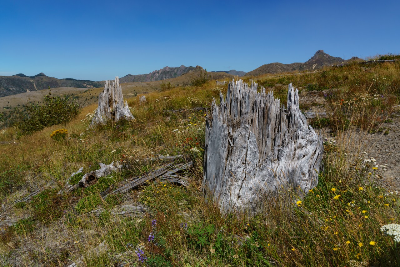 Sheared stumps from the Mt St Helens eruption