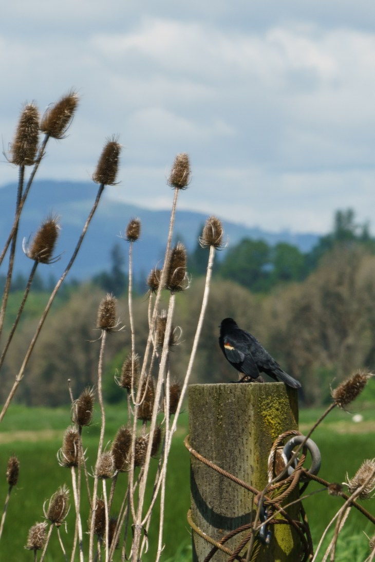 Red winged blackbird at the Ridgefield Bird Sanctuary