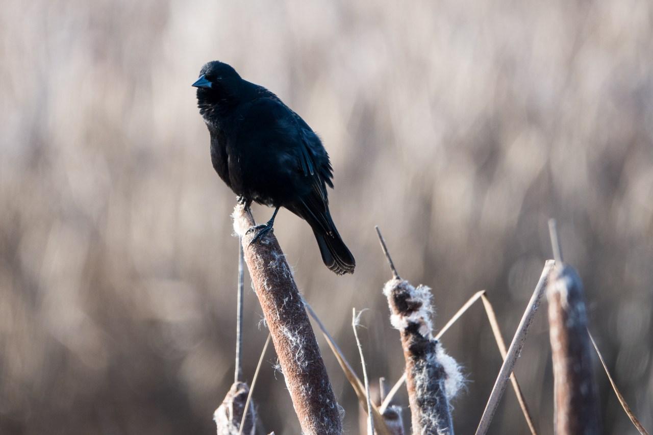 Black Bird at Ridgefield Wildlife Refuge