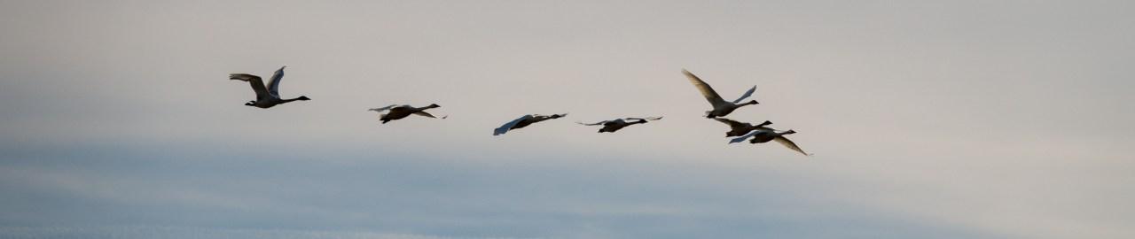 After LightRoom auto tone adjustment: Birds in Flight over Ridgefield Wildlife Refuge