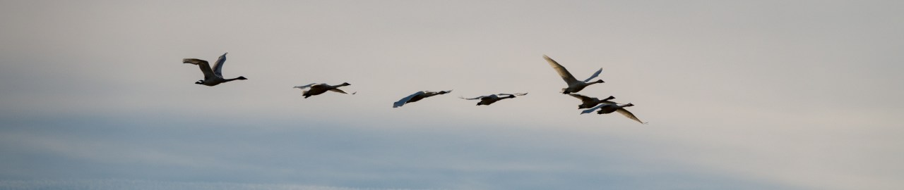 After LightRoom auto tone adjustment: Birds in Flight over Ridgefield Wildlife Refuge