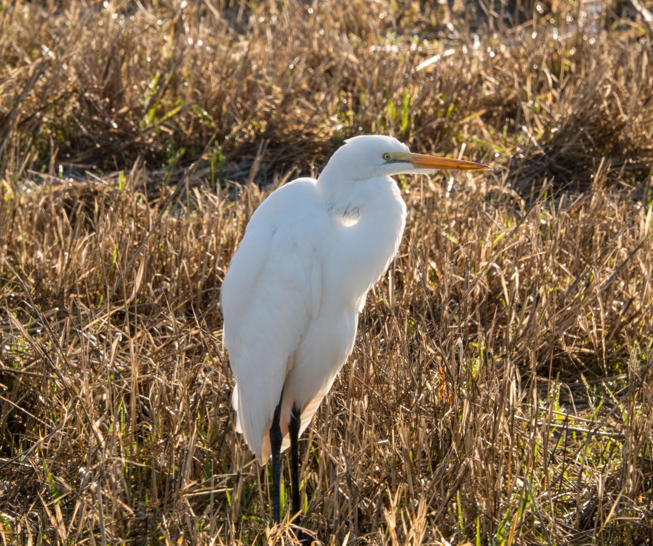 Great Egret at Ridgefield Wildlife Refuge