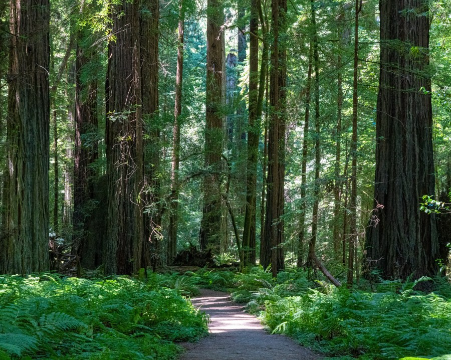 California Trip Day 3: Avenue of the Giants