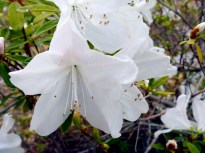 Azaleas blooming in mid-March