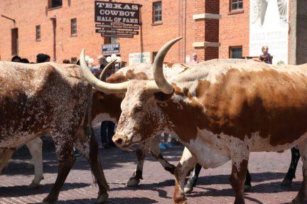 Cattledrive i Fort Worth