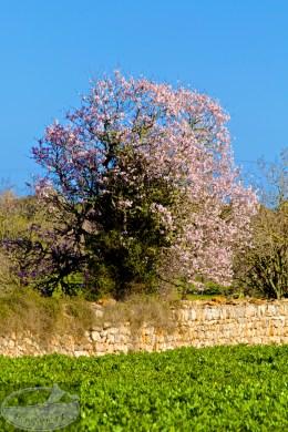 Von wegen toter Baum - rosa wird der Frühling begrüsst