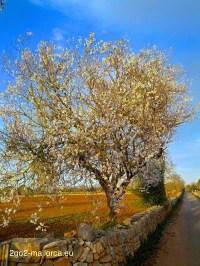 Bluehender Mandelbaum