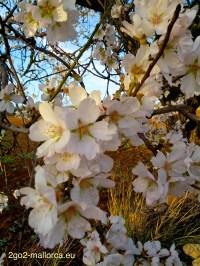 Nahaufnahme eines vollbestückten Astes mit Blüten