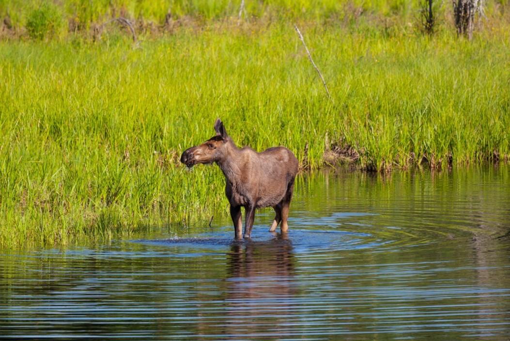 encounters a moose