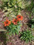 Euchinacea in mulch garden bed