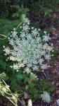 Queen Annes Flower