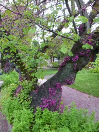 just down the street from the World's Largest Redbuds were a few of these with a fuzz of blooms on their trunks!
