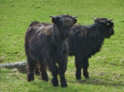 Young black Highland Cows.