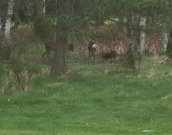 Roe Deer on the 4th Hole