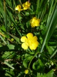 Sarah Island was a very harsh place but there are Buttercups growing.