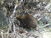 Echidna near Cataract Gorge.
