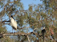 Ibis and Pied Cormorant.