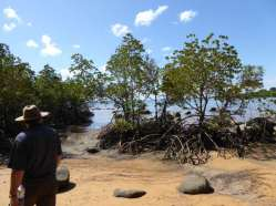 Mangroves on the Cutten Bros Walk to Clump Point Jetty.