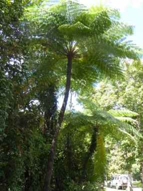 Not palms now but Tree Ferns.