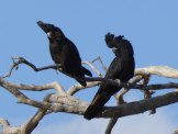 Red-tailed Black Cockatoos at Bourke.