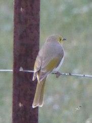 Little bird at Kidman's Camp