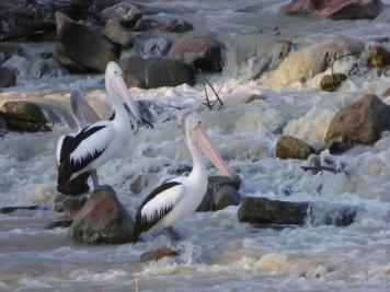 Pelicans waiting for fish at the weir