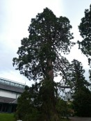 Impressive old Pine