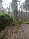 Lovely mossy tree in Craig Phadraig forest.