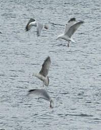 Squabbling seagulls.