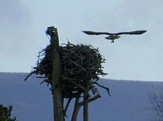 Osprey leaving the nest