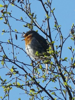 Chirpy EARLY MORNING Robin