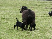 It's lambing time, I think these are Hebridian Sheep.