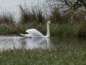 Swan on a backwater.