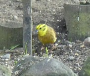 A Yellow Hammer