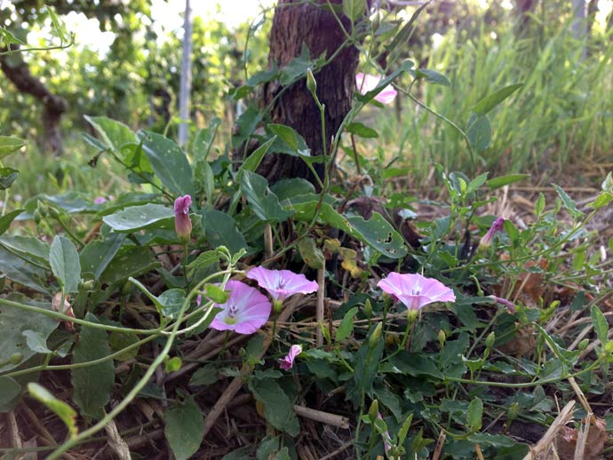 Flowers in our organic vineyards