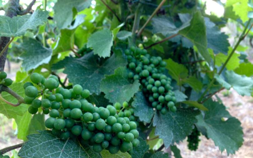 Silvaner grapes July 2013