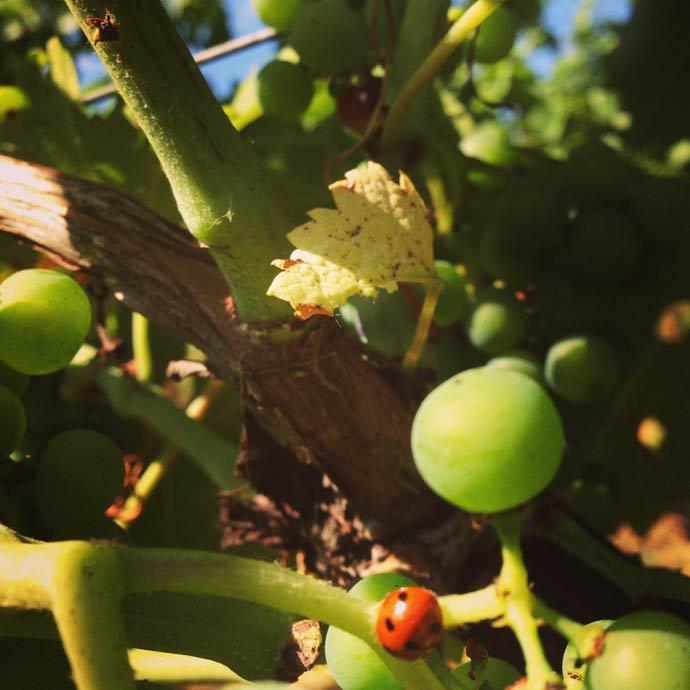 Ladybird in the vines