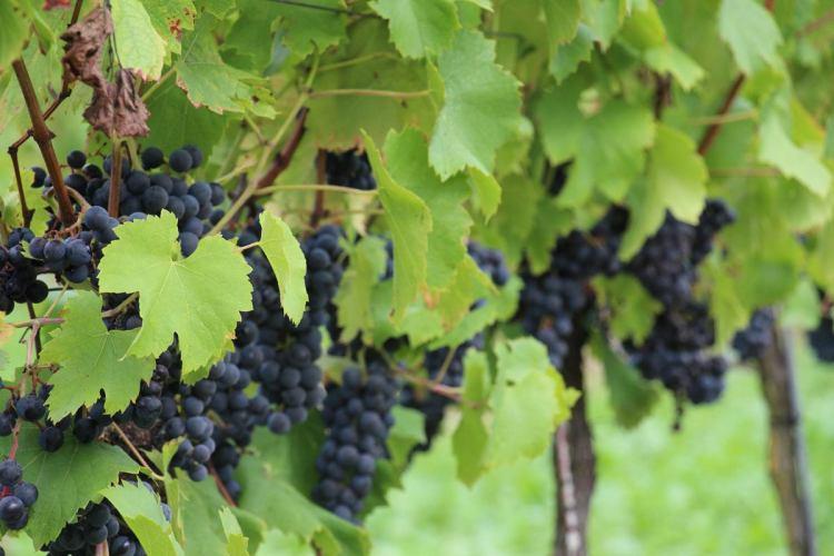 Regent grapes in Sulzfeld