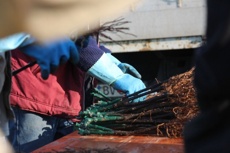 Cutting the roots of the baby vines