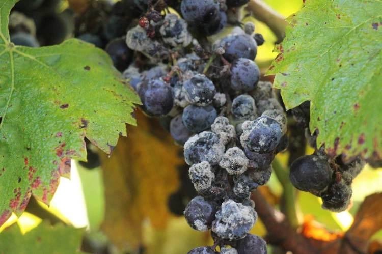 Nobel rot Regent grape