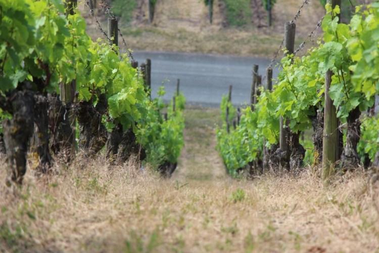 Dry vineyard
