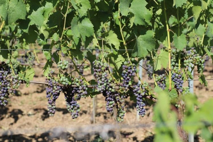 Wanderlust vineyard / Sulzfelder Cyriakusberg Regent