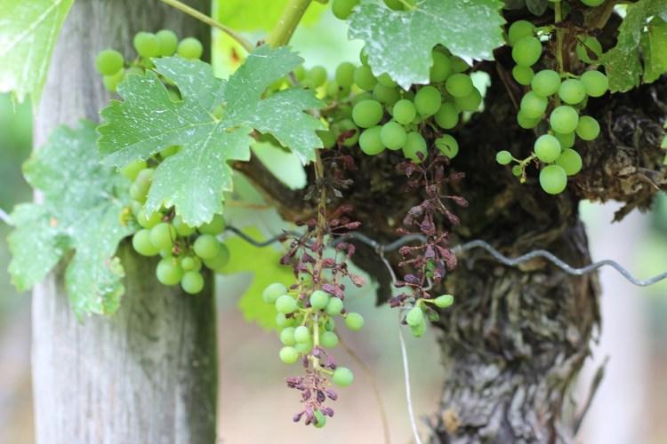 Grape Peronospora