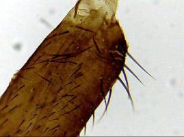 drosophyla2