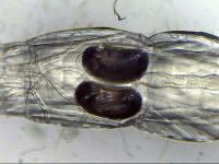 Chaoborus crystallinus Larve