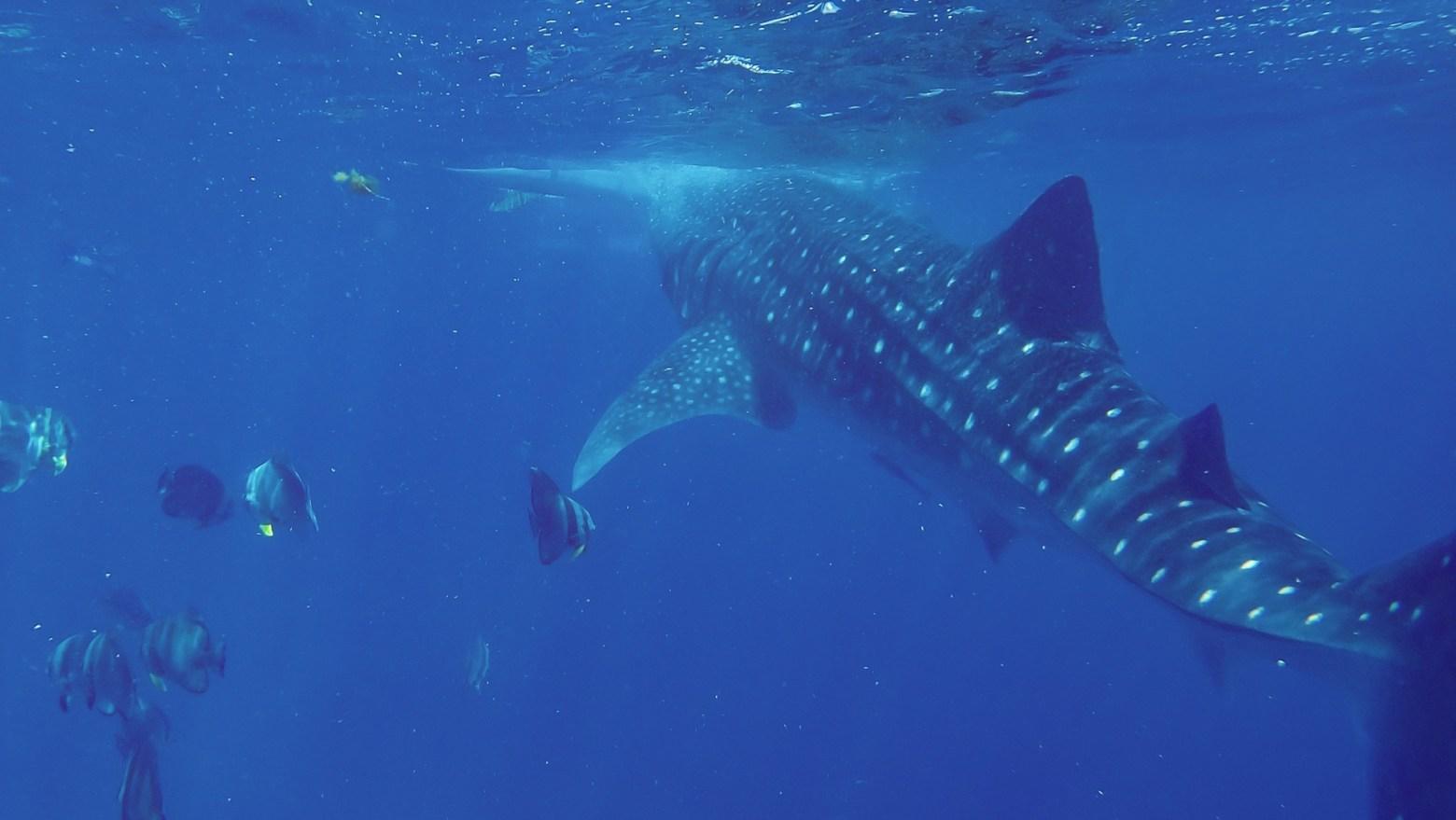 歐斯陸賞鯨鯊