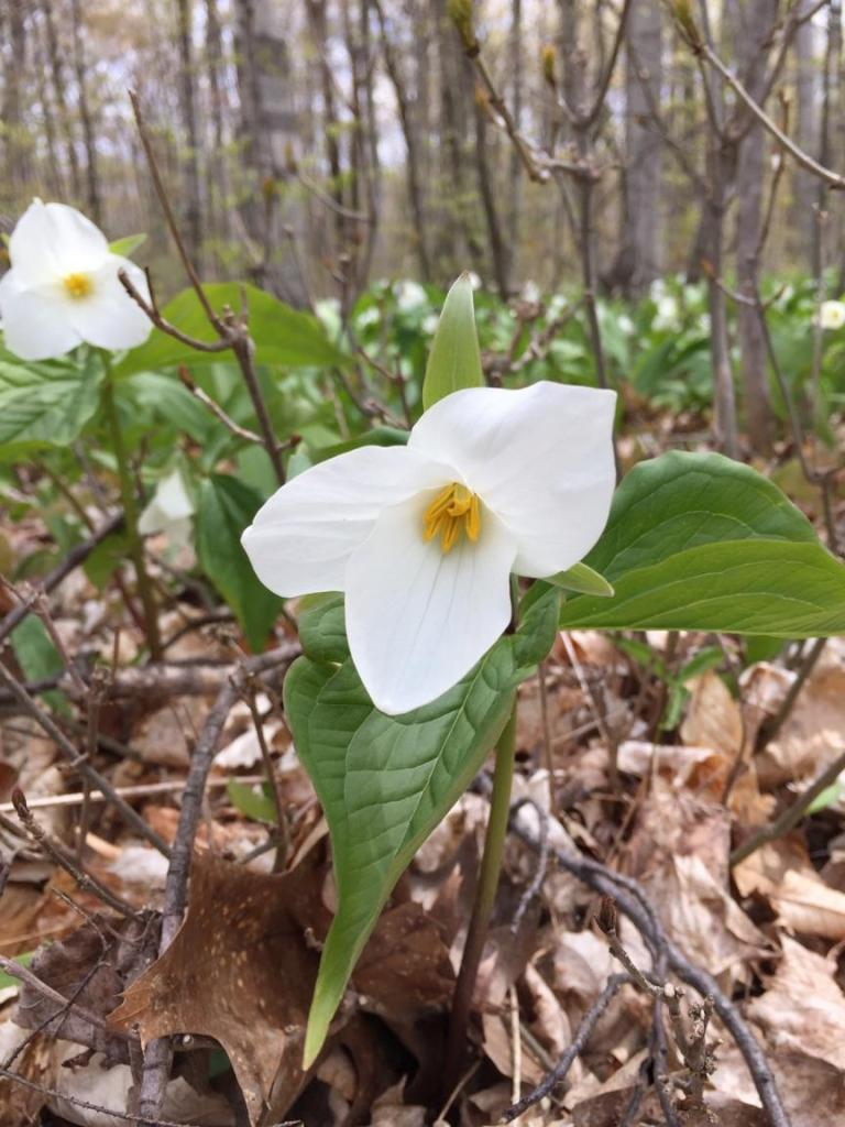Trilliums in Orchard Beach State Park, Michigan.