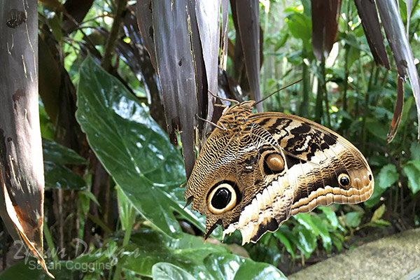 Project 52 Photos: Week 46 – Owl Butterfly